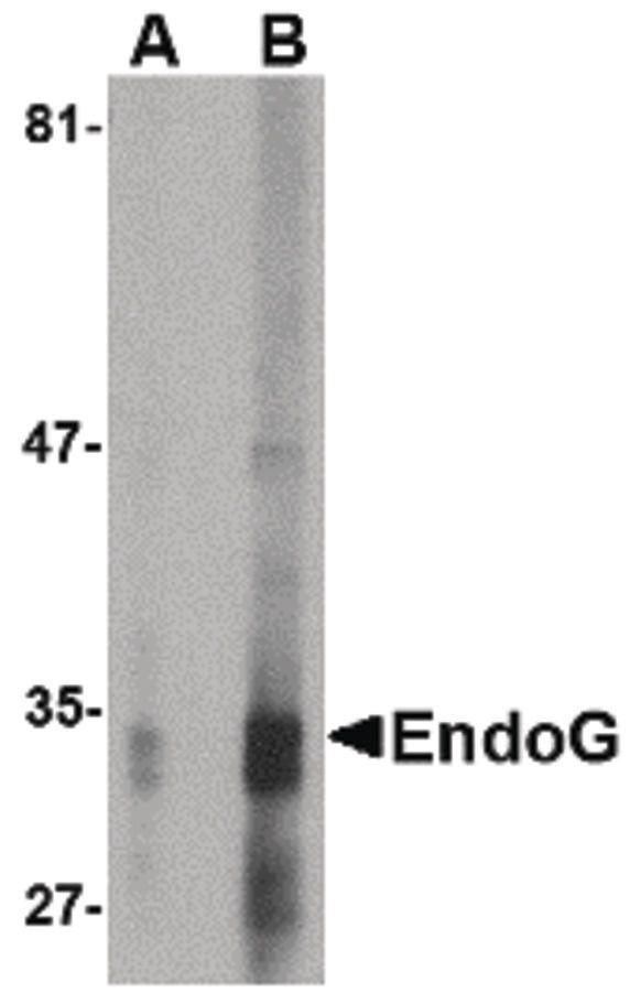 ENDOG Antibody (MA5-15756) in Western Blot