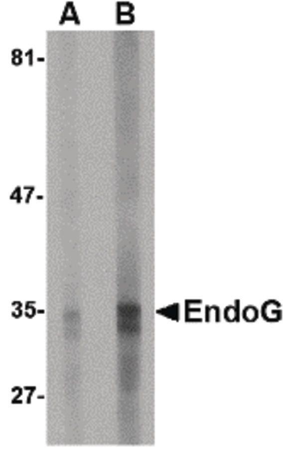 ENDOG Antibody (MA5-15757)