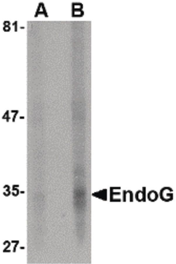 ENDOG Antibody (MA5-15759)