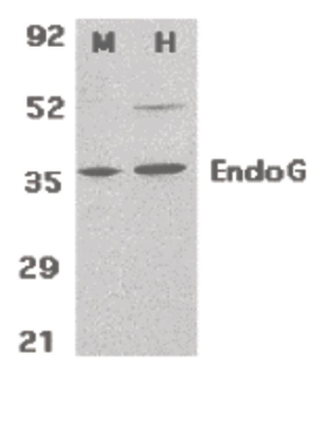 ENDOG Antibody (PA5-20004) in Western Blot