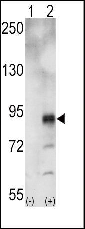EphA5 Antibody (PA5-14582) in Western Blot