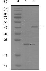 EphA8 Antibody (MA5-15448)