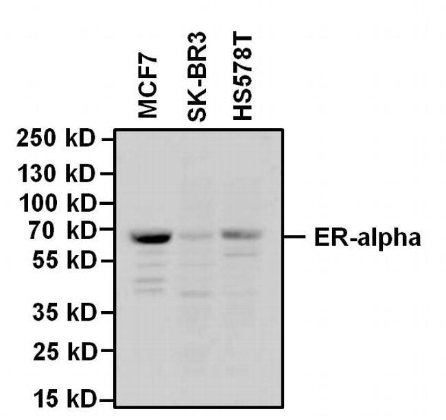 Estrogen Receptor alpha Antibody (MA1-310) in Western Blot