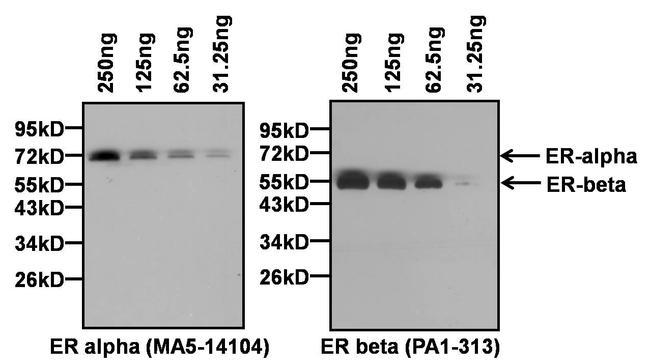 Estrogen Receptor alpha Antibody (MA5-14104) in Western Blot