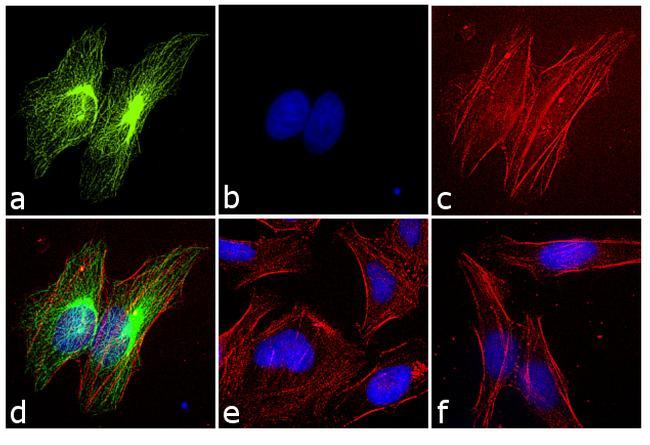 Rabbit IgG (H+L) Cross-Adsorbed Secondary Antibody (F-2765) in Immunofluorescence