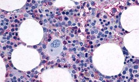 F2RL3 Antibody (PA5-33532)