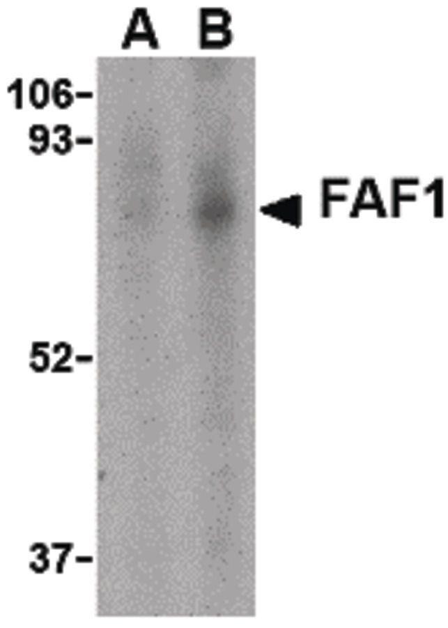 FAF1 Antibody (PA5-20314) in Western Blot
