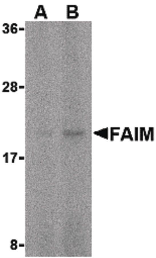FAIM Antibody (PA5-20312) in Western Blot