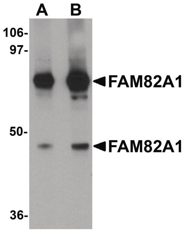 FAM82A1 Antibody (PA5-20938) in Western Blot