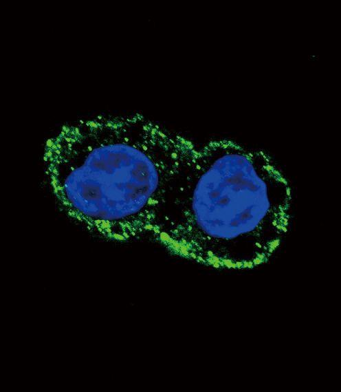 FGF2 Antibody (PA5-23640)