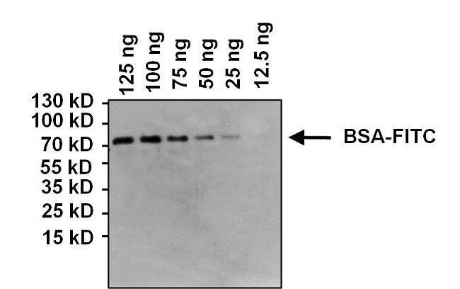 FITC Antibody (MA5-14709)