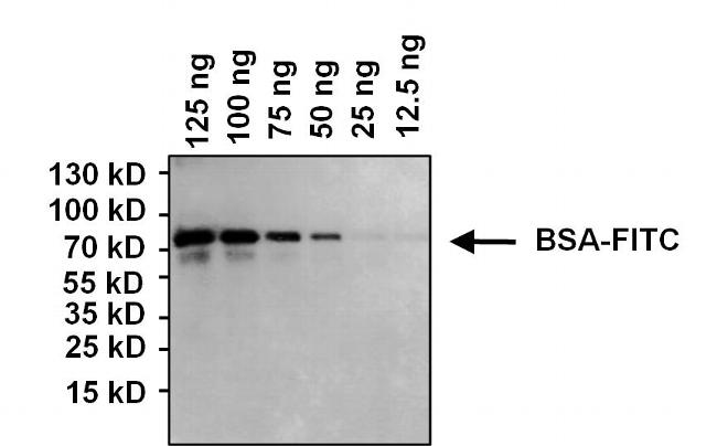 FITC Antibody (MIF2902) in Western Blot