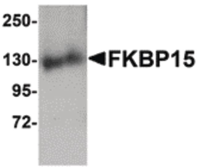 FKBP15 Antibody (PA5-20730) in Western Blot