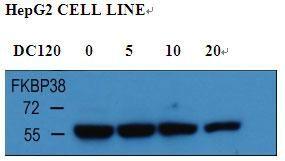 FKBP8 Antibody (PA5-25881) in Western Blot