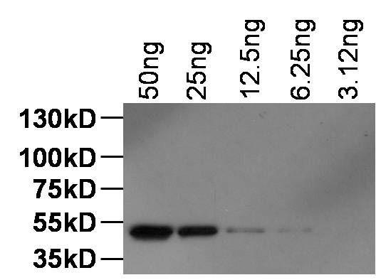 DYKDDDDK Tag Antibody (MA1-142)