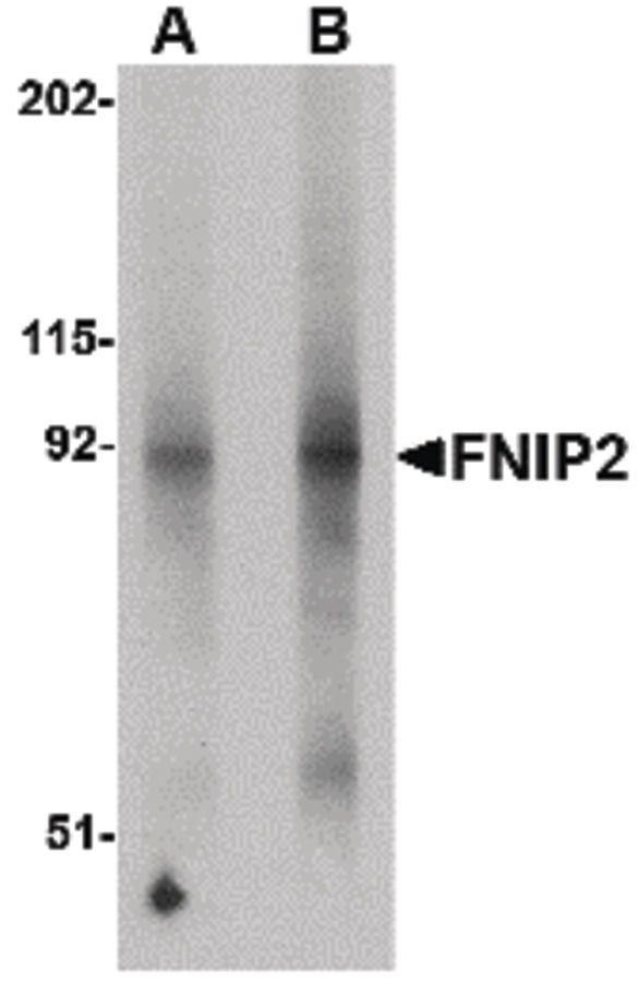 FNIP2 Antibody (PA5-20691)