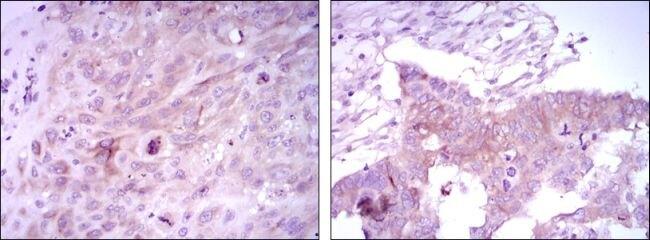 FOXD3 Antibody (MA5-15731)