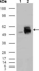 FRK Antibody (MA5-15425) in Western Blot