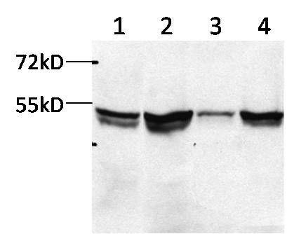 FDXR Antibody (LF-MA0033) in Western Blot