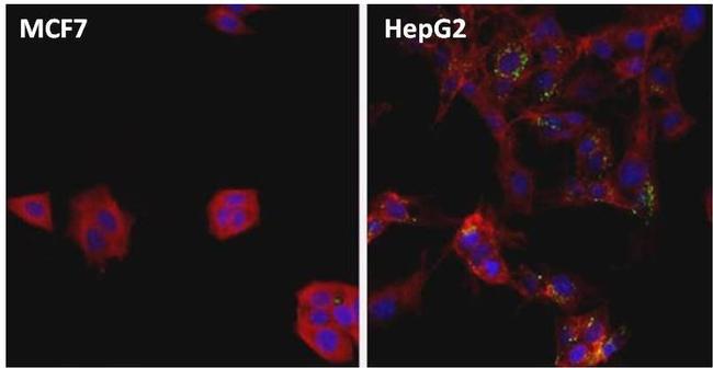 Ferritin Antibody (MIF2505) in Immunofluorescence