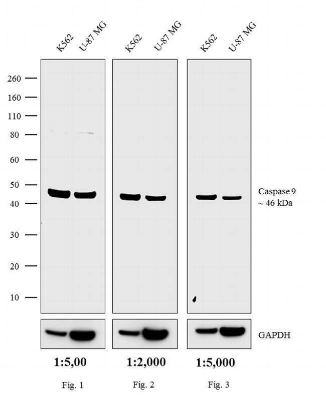 Rabbit IgG (H+L) Cross-Adsorbed Secondary Antibody (G-21234) in Western Blot