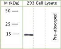 GABARAP Antibody (OSG00009W)
