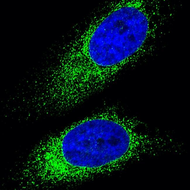 Goat anti-Mouse IgG (H+L) Highly Cross-Adsorbed Secondary Antibody, Alexa Fluor Plus 488