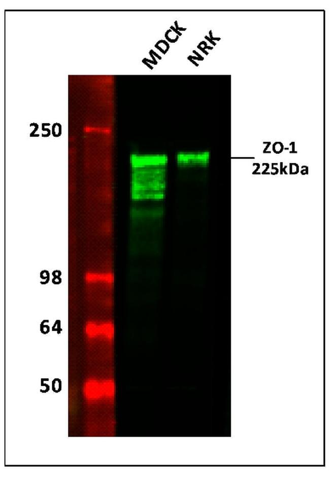 Mouse IgG (H+L) Highly Cross-Adsorbed Secondary Antibody (A11357) in Western Blot