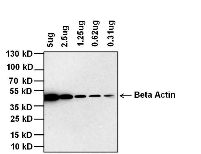 Mouse IgG (H+L) Cross-Adsorbed Secondary Antibody (G-21040)
