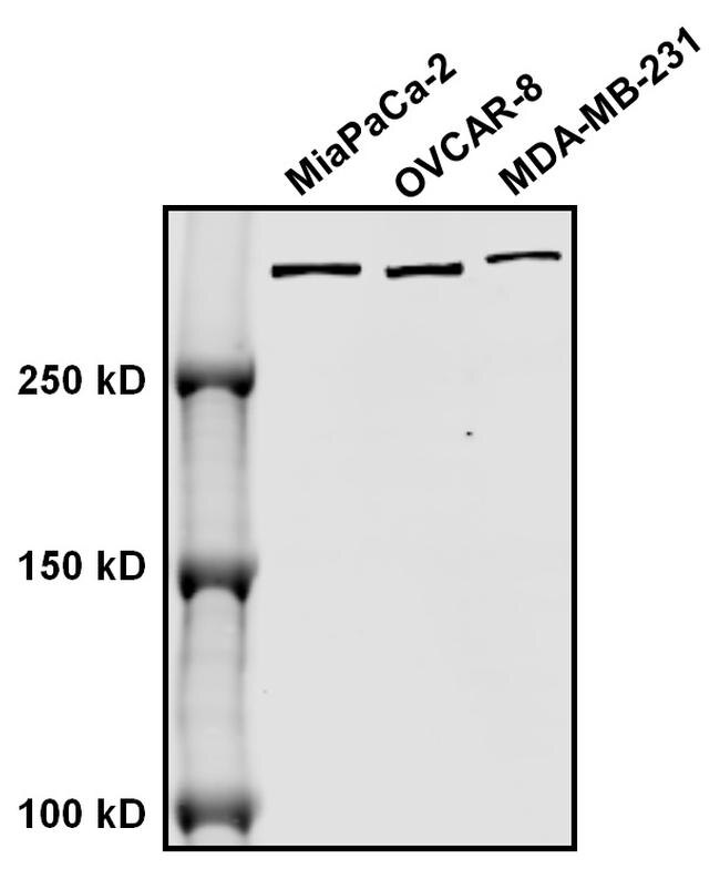 Mouse IgG (H and L) Secondary Antibody (SA5-35521) in Western Blot