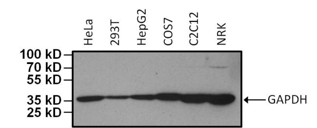 GAPDH Loading Control Antibody (MA5-15738-HRP) in Western Blot
