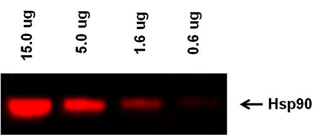 Goat anti-Rabbit IgG (H+L) Highly Cross-Adsorbed Secondary Antibody, Alexa Fluor Plus 555