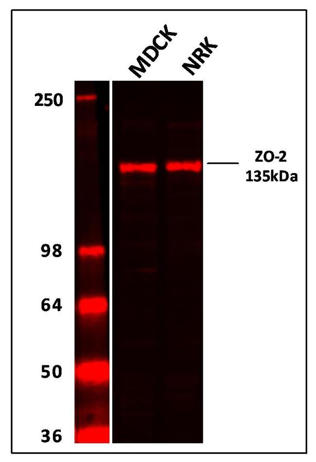 Rabbit IgG (H+L) Highly Cross-Adsorbed Secondary Antibody (A-21109) in Western Blot