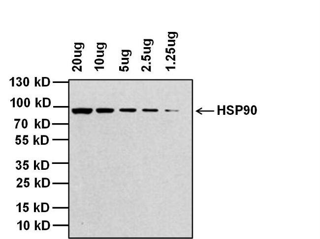 Rabbit IgG (H+L) Cross-Adsorbed Secondary Antibody (G-21234) in Western Blot
