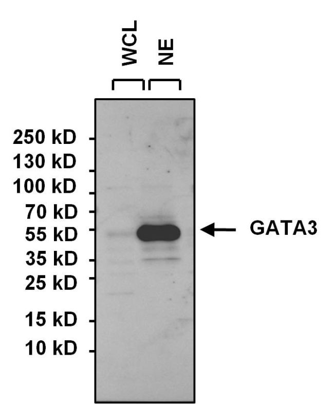 GATA3 Antibody (PA1-101) in Western Blot