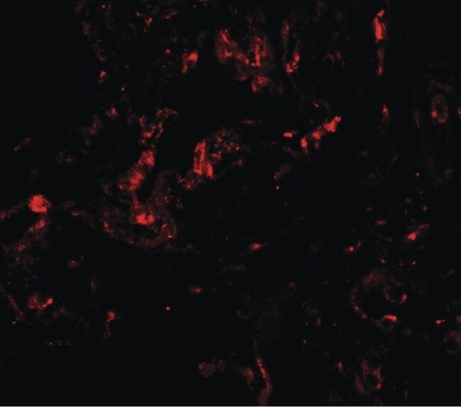 GDF1 Antibody (PA5-34473) in Immunofluorescence