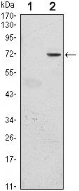 GFI1 Antibody (MA5-15688)