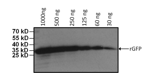GFP Tag Antibody (MA5-15256-HRP) in Western Blot