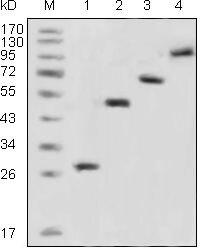 GFP Tag Antibody (MA5-15349) in Western Blot