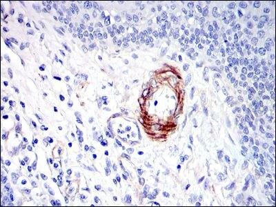 SAPAP1 Antibody (MA5-15874) in Immunohistochemistry