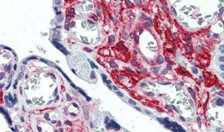 GLG1 Antibody (PA5-32779)
