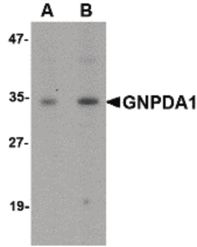 GNPDA1 Antibody (PA5-20693) in Western Blot