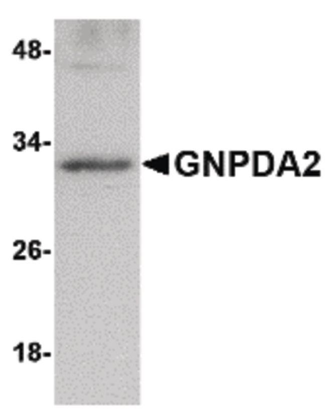 GNPDA2 Antibody (PA5-20694) in Western Blot