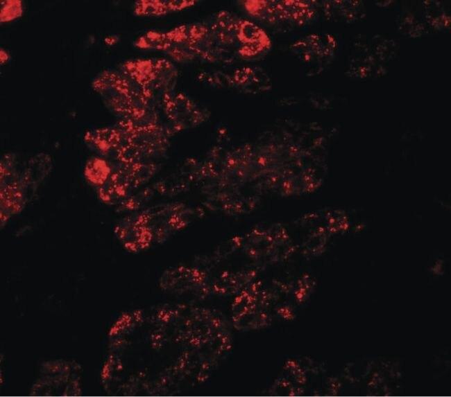 GOLGA5 Antibody (PA5-34563)