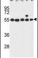 GPR180 Antibody (PA5-26788) in Western Blot