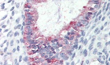 GPR27 Antibody (PA5-32821) in Immunohistochemistry (Paraffin)