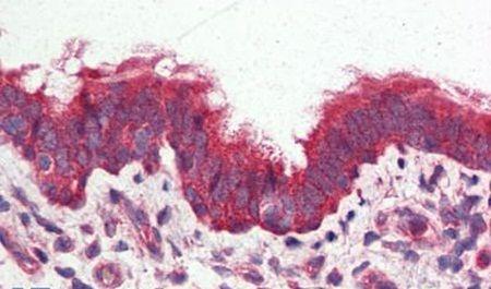 GPRC6A Antibody (PA5-33809) in Immunohistochemistry (Paraffin)