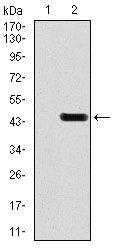 GluR2 Antibody (MA5-17084) in Western Blot