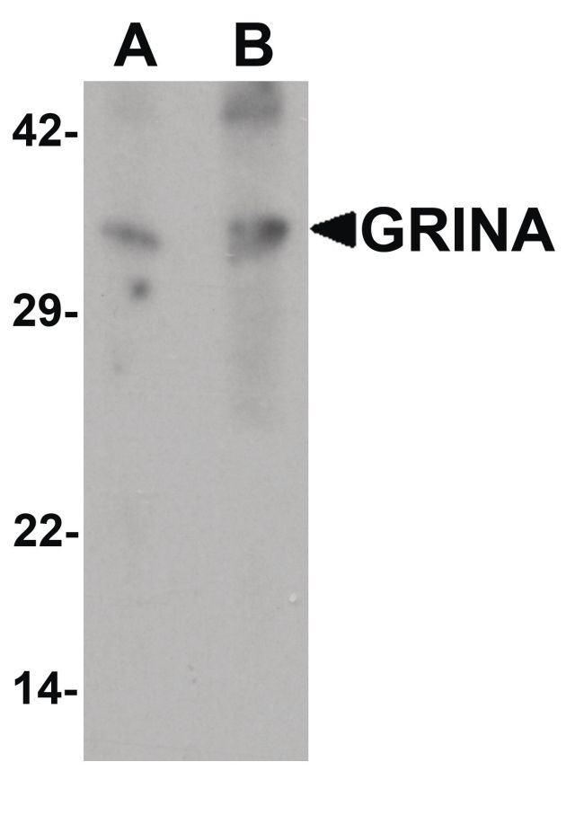GRINA Antibody (PA5-34489)