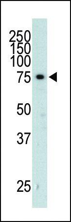 GRK3 Antibody (PA5-13727)